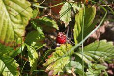 summer berry