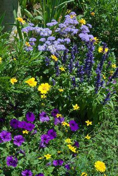 Petunias, marigold Tagetes, Salvia farinacea, Ageratum