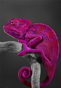 The color is amazing, Fuchsia/Magenta on a Lizard/Chameleon found in the world of Animals. Colorful Animals, Nature Animals, Animals And Pets, Cute Animals, Wild Animals, Purple Animals, Tropical Animals, Wildlife Nature, Beautiful Creatures