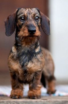 Miniature wire haired Dachshund puppy. My next new best friend?