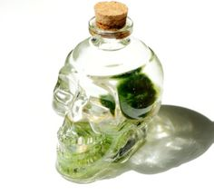 Freeport Park Skull Bottle Marimo Moss Ball Glass Terrarium in a skull wine bottle. This is a type of algae, and it is easy to look after. The Japanese believe Skull Bottle Marimo Moss Ball Glass Terrarium will bring good luck to you. Planter Box With Trellis, Plastic Planter Boxes, Wooden Planter Boxes, Marimo Moss Ball Terrarium, Terrariums, Bottle Terrarium, Concrete Plant Pots, Ceramic Plant Pots, Plastic Plant Pots