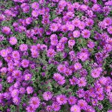 New England Aster for sale buy Aster novae-angliae 'Purple Dome'