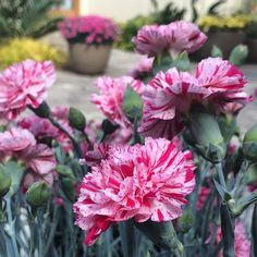 Sugar and spice and everything nice -- that's the fragrance Devon Cottage Pinball Wizard Pink dianthus brings to a garden. . . . #monroviaplants #monrovianursery #GrowBeautifully #Dianthus #DevonCottage #DevonCottagePinballWizardPink #gardeninspiration #Finegardening #gardenlovers #gardeners #lovegardening #garden_styles #gardening #garden #gardenlifestyle #gardendesign #flowers #plants #blooms #plantvibes #Plantsofinstagram #Flowersofinstagram #GardenersofInstagram #instagardenlovers…