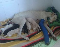A dog with a badly broken leg incredibly led a vet two miles to an abandoned car where she had given birth to ten puppies so they could be l...