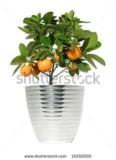 potted lemon trees - Google Search