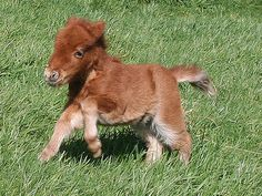 BABY MINI PONIES #miniature #babyanimals #horses #ponies #foals #adorable #cute