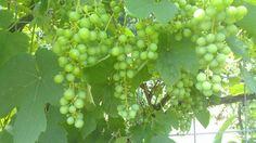 Druiven in wording... Blij mee na 2 jaar mislukte oogst. Het rigoreus snoeien lijkt te hebben gewerkt.