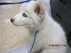 This DOG-ID#A695756    I am a male, white Alaskan Husky.    The shelter staff think I am about 6 months old.    I have been at the shelter since Jan 26, 2013.