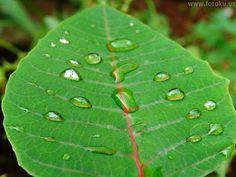 14.59 Daun hijau dengan butiran air di atas daun. MACRO Photo with Nikon Coolpix P500.
