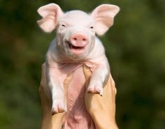 Smiling animals: The happiest creatures in the Animal Kingdom - New York Daily News Smiling Animals, Happy Animals, Animals And Pets, Funny Animals, Cute Animals, Baby Piglets, Happy Pig, Mini Pigs, Funny Animal Pictures