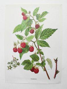 Vintage Botanical Print 'Raspberry'
