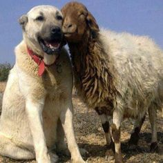 So sweet- Anatolian Shepherd dog and long-haired goat Big Dogs, I Love Dogs, Cute Dogs, Animals And Pets, Funny Animals, Cute Animals, Baby Animals, Beautiful Dogs, Animals Beautiful