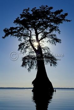 Cypress tree (Taxodium distichum) on Lake Drummond in Great Dismal Swamp