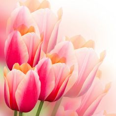 Red Soft Tulips