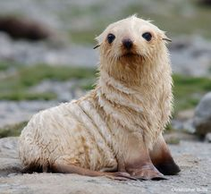 Antarctic Fur Seal Pup- A wildlfie puppy in honor of National Puppy Day