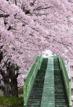 steps to SAKURA ♥♥♥