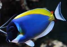 poisson chirurgien à poitrine blanche Acanthurus leucosternon Marine Aquarium Fish, Saltwater Aquarium Fish, Saltwater Tank, Marine Fish, Aquarium Fish Tank, Underwater Creatures, Ocean Creatures, Underwater World, Colorful Fish