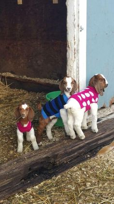 I miss my Nubbies (Nubian Goats, that is) -LJK Baby goats in sweaters? Yes, I'll take 3 please! Cute Baby Animals, Farm Animals, Animals And Pets, Baby Goats In Sweaters, Cabras Boer, Tiny Goat, Love Your Pet Day, Boer Goats, Dwarf Goats