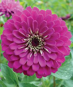 Zinnia, Purple Prince Dahlia-flowered zinnia.	  Burpee Exclusive A royal addition to your palette of zinnia colors. This zinnias intense rosy purple projects a purity of color that charms and delights the eye. Growing vigorously up to 3 tall, Purple Prince stays showy even under the rainiest weather. Very disease and mildew resistant.  lifecycle: Annual   Uses: Borders   Sun: Full Sun   Height: 36  inches  Spread: 12-14  inches  Sowing Method: Direct Sow/Indoor Sow   Bloom Du
