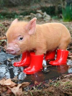 Mini pig :)