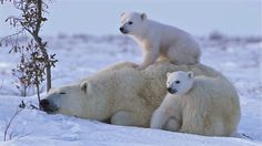 A mother polar bear snuggles with her cubs in the cold arctic snow in this charming video shot by Andrew Maske in Manitoba, Canada, near Hudson Bay. Baby Polar Bears, Cute Polar Bear, Cute Bears, Cubs Wallpaper, Baby Animals, Cute Animals, Nature Animals, Elephants Photos, Baby Elephants