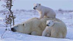 POLAR BEAR LOVE: Cute polar bear cubs lovin' up their mamma