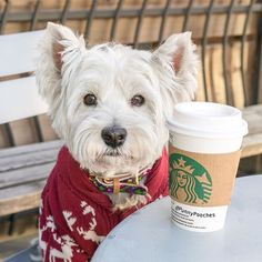 It's strange how drinking 8 cups of water seems impossible but 8 cups of coffee go down like a chubby kid on a see-saw #amiright Have a great week everyone! #westie #dogswearingclothes
