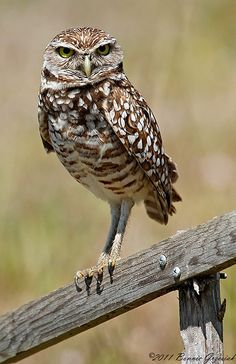 The Burrowing Owl (Athene cunicularia) is a tiny but long-legged owl found throughout open landscapes of North and South America.