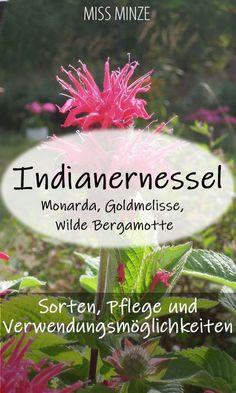 Indianernessel: die vielseitige Staude, die gleichzeitig auch zu den Heilkräutern zählt Monarda fistulosa, Monarda didyma, Goldmelisse, Wilde Bergamotte