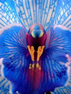 Beautiful blue orchid, looks like a peacock! - ©Romulo Moya Peralta - www.flickr.com/photos/romulofotos/3537712416/