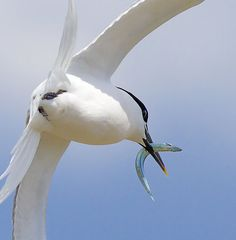 Sandwich Tern by David Wheatley, via Flickr