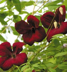 Viticella Rubra Clematis                                                                                                                                                                                 More