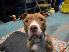 SAFE ❤️❤️ 01/12/17 BY RESCUE DOGS ROCK NYC❤️ THANK YOU❤️❤️ 1/11/17 LISTED TO BE MURDERED TODAY!! Brooklyn Center My name is BAMBI. My Animal ID # is A1100631. I am a female tan and white am pit bull ter mix. The shelter thinks I am about 2 YEARS old. I came in the shelter as a STRAY on 12/28/2016 from NY 11691, owner surrender reason stated was STRAY.