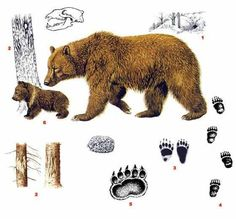 Absolute sound recorder 3 3 incl keymaker extreme torrent dl am Black Bear, Brown Bear, Bear Watercolor, Bear Drawing, Animal Tracks, Bear Art, Forest Animals, Clay Crafts, Animal Drawings