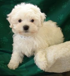 White Maltese Puppy for Sale