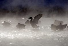 A duck stretches its wings on a pond on the outskirts of Minsk, Belarus