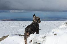 Snow Dog - Wicklow Mountains Ireland