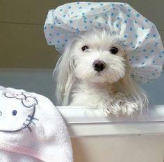THIS  BEAUTIFUL SWEET BICHEON FRISE IS WELL PREPARED FOR HIS BATHROOM.HE LOOKS JUST LIKE MY BABY HONDOE.CHERIE