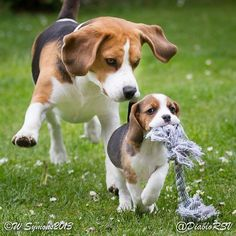 Beagle puppy Grace has just stolen this from Louie, I think we know who's going to be boss!