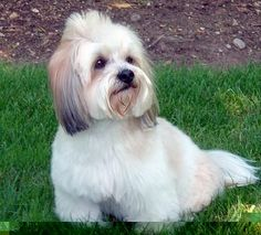 Dog Hair Cuts Style | Lhasa Apso Haircuts | Dog Breeds Index More