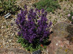 Asyneuma limonifolium ssp. limonifolium