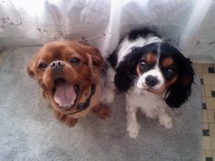 My two cavalier king charles spaniels