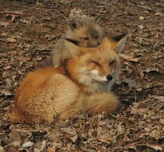 Red Fox Kit snuggling down on top of his Mama's head! <3