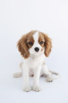 Cavalier King Charles Spaniel. I always wanted one when I was little they don't shed and are so pretty but I'm happy to have Romeo