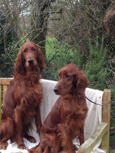 Dit stel zou ik graag willen hebben. Setter Puppies, Irish Setter Dogs, Dogs And Puppies, Most Beautiful Dog Breeds, Scottish Deerhound, Tallest Dog, Gordon Setter, Sweet Dogs, Huge Dogs