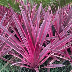 SPECIAL DEAL - Usually 59.95, today just 24.95 - Save £35! These hardy Pink Passion Cordylines are really taking the garden world by storm, and it's not hard to see why.
