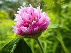 Clover Blossom photograph of colorful pink by JantasticPhotos