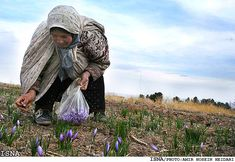 Harvesting Saffron in Birjand, Iran. . Each pound of saffron requires about 225,000 stigmas; at three per plant, that's about 75,000 plants grown over an area the size of a football field. This one-pound harvest takes the better part of a week.
