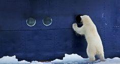 (via Bing Images - Polar Bear) ~peek a boo ~ Arctic Polar Bears, Cute Polar Bear, Grizzly Bears, Do What You Like, My Spirit Animal, Animal Kingdom, Funny Pictures, Funny Pics, Funny Stuff