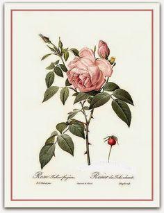 Rosa Índica  A rosa é uma das flores mais populares no mundo, cultivada desde a Antiguidade. A primeira rosa cresceu nos jardins asiáticos há 5 000 anos. Na sua forma selvagem, a flor é ainda mais antiga.  http://sergiozeiger.tumblr.com/…/rosa-indica-a-rosa-e-uma-d…  Celebrada ao longo dos séculos, a rosa, símbolo dos apaixonados, também marcou presença em eventos históricos importantes e decisivos.